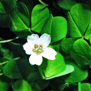 Oxalis acetosella